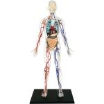 Transparent Human Model