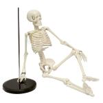 Human Skeleton Model, Small Plastic