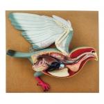 Bird Dissection - Pigeon Model