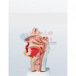 Human Nasal Cavity Model