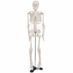 Human Skeleton Model, Superior