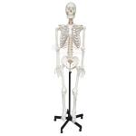 Human Skeleton Model, Life Size PVC