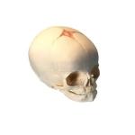 Human Infant Skull Model