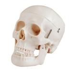 Plastic Human Skull Model