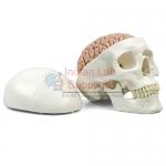 Classic Human Skull With Brain