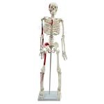 Medium Human Skeleton Model, Painted
