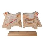 Human Nose and Olfactory Organ Model