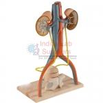 Urinary System Model