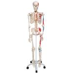 Life Size Human Skeleton Model Painted